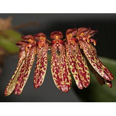 Bulbophyllum longiflorum 'Spotted'