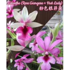 Calanthe u.g. (Rose Georgene × First Lady)