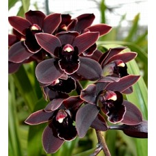 Cymbidium Cali Night 'Geyserland' HCC/AOS