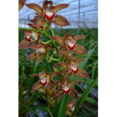 Cymbidium Carol Connelly