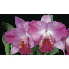 Cattleya California Song 'Strawberry Parfait'