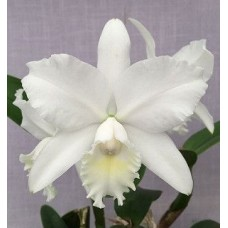 Cattleya Hawaiian Wedding Song 'Virgin'