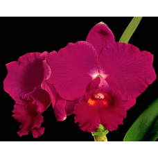 Cattleya Imperial Wings `Happy Field'