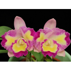 Cattleya Mari's Beat `Sweetheart'