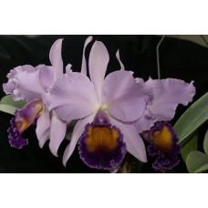 Cattleya Dinard 'Blue Heaven' AM/AOS