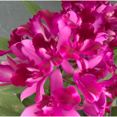 Cattlianthe Tristar Bouquet