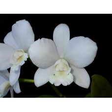 Cattlianthe White Bridal 'Yuki'