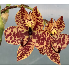 Cycnoches TLDC Purple Frilled Lizard