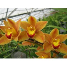 Cymbidium Fifington 'Easter Fire'