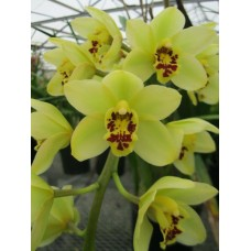 Cymbidium Key Largo 'New Horizon'