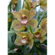 Cymbidium Jungle Girl
