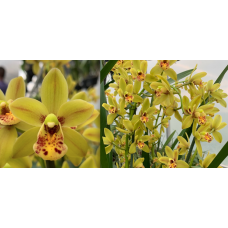 Cymbidium Mad Irishman