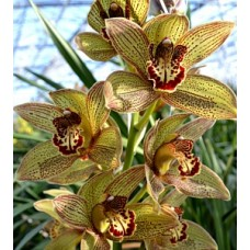 Cymbidium Disney Girl