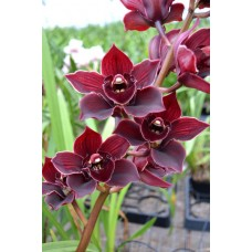 Cymbidium Hot Island 'Blood Red'