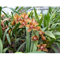 Cymbidium Mighty Son