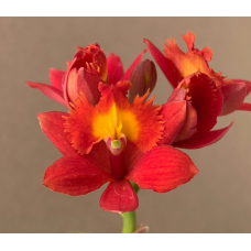 Epidendrum Bonita Kieft 'Red Hot Poker' x (Pacific Thrill x Pacific Mulberry) A1