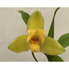 Lycaste (aromatica x Abou First Spring)
