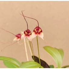 Masdevallia nidifica 'Red'