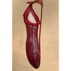 Nepenthes 'Bill Bailey'