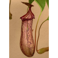 Nepenthes 'Rob'