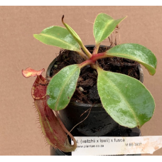 Nepenthes (veitchii x lowii) x fusca