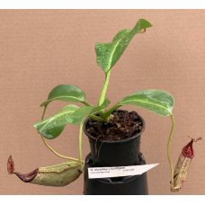 Nepenthes robcantleyi x burbigeae