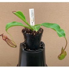 Nepenthes singalana x robcantleyi