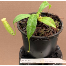 Nepenthes species #1