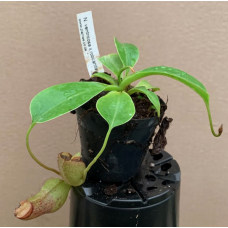 Nepenthes ventricosa x robcantleyi
