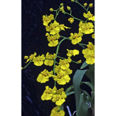 Oncidium Mayfair