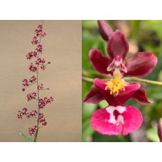 Oncidium Tariflor Lady