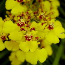 Oncidium Golden Shower