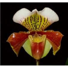 Paphiopedilum u.g. (New Downlands x Winston Churchill)