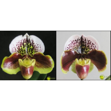 Paphiopedilum (Tree of Enzan x Enzan Kitty)