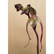 Paphiopedilum Angel Hair