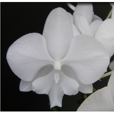 Phalaenopsis Snow Ball '0444'