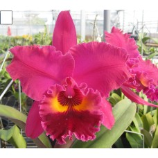 Rhyncholaeliocattleya Chialin Ruby 'Red Dragon'