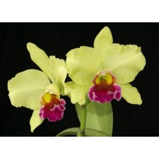 Rhyncholaeliocattleya Memoria Helen Brown 'Green Apple'