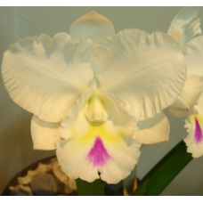 Rhyncholaeliocattleya Mr. Chang 'Coach'
