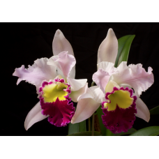Rhyncholaeliocattleya Beauty Girl 'Kova'