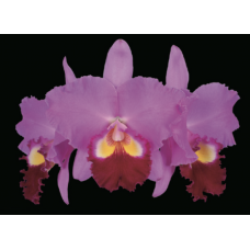 Rhyncholaeliocattleya Perfect Beauty 'New Edition'