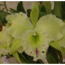 Rhyncholaeliocattleya Golf Green 'Hair Pig'
