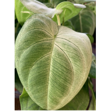 Syngonium 'Frosted Heart'