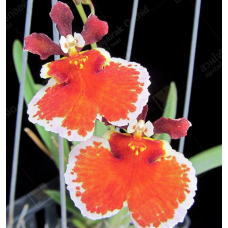 Tolumnia Jairak Firm 'Orange Bull'