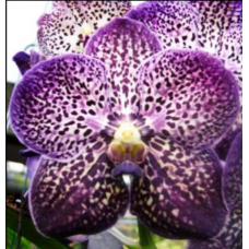 Vanda Gordon Dillon 'Lea' AM/AOS