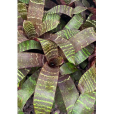Vriesea Red Chestnut