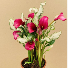 Zanthedeschia 'Frozen Queen'