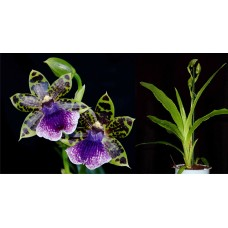 Zygopetalum Everspring
